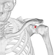 肩関節の機能解剖学