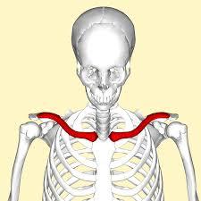 鎖骨って実は結構すごいやつなんだという話 〜鎖骨の機能解剖学〜