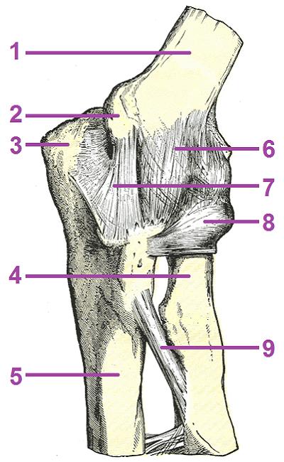 肘関節の機能解剖学